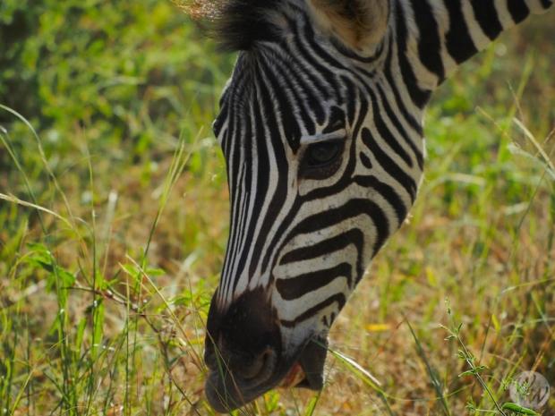 Auf einer Safari dürfen Zebras natürlich nicht fehlen.